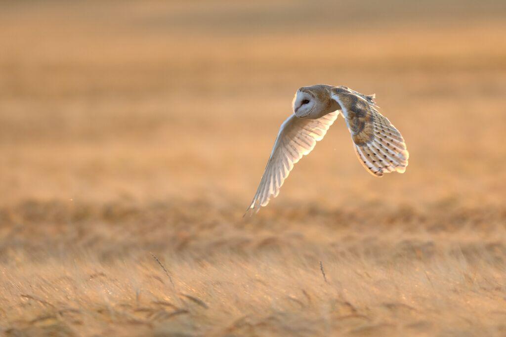 Barn-Owl 081