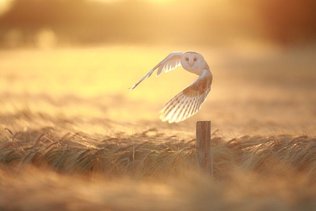 Barn-Owl 084