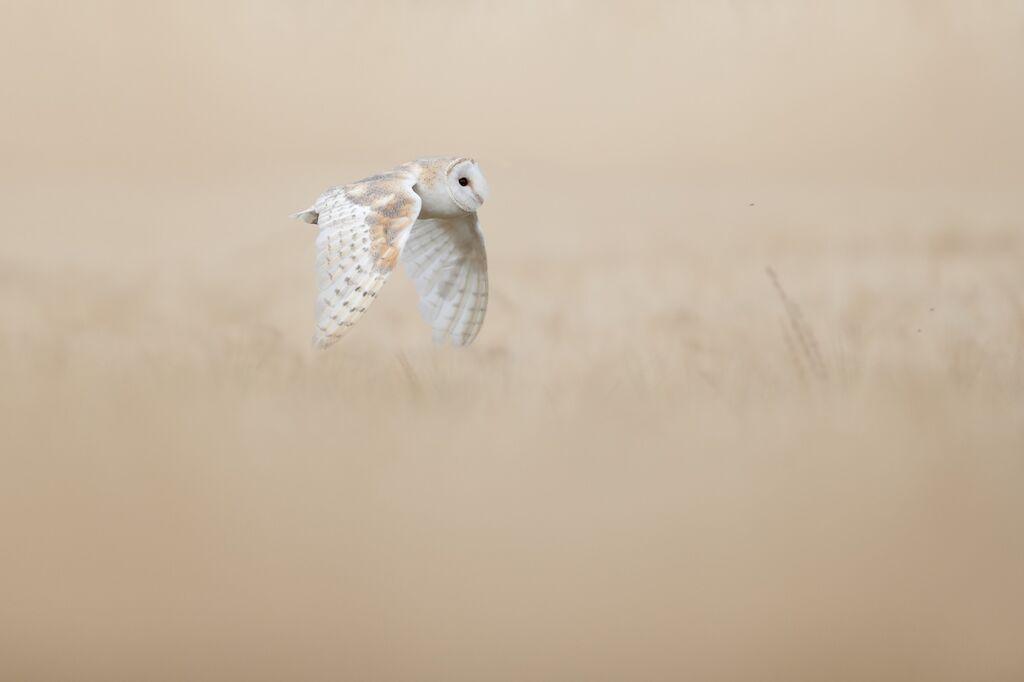 Barn-Owl 095