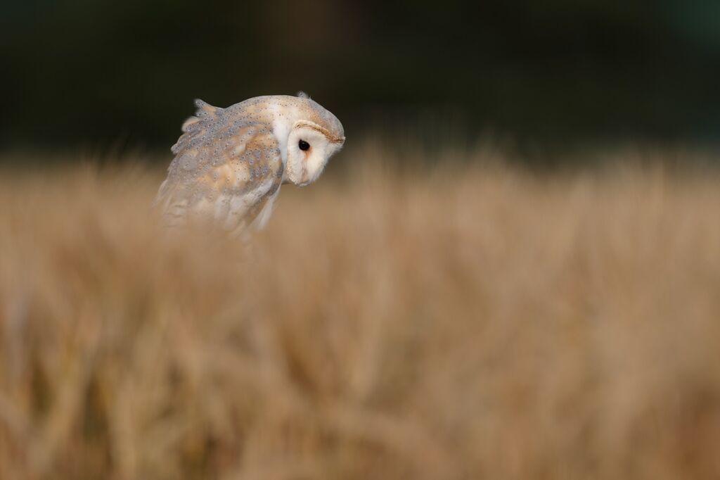 Barn-Owl 096