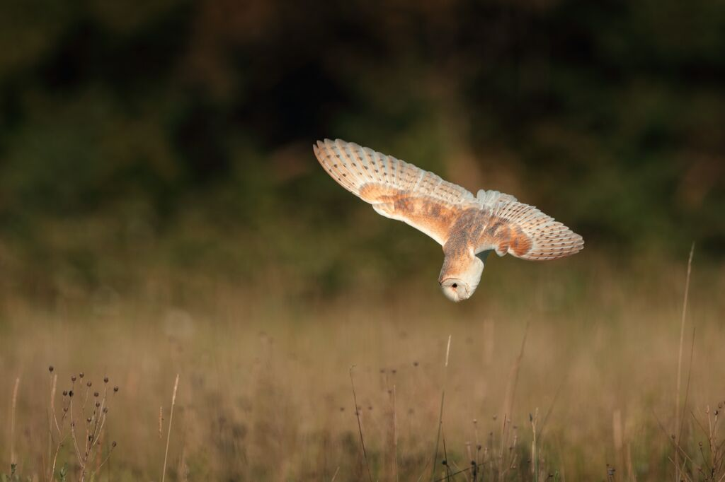 Barn-Owl 058