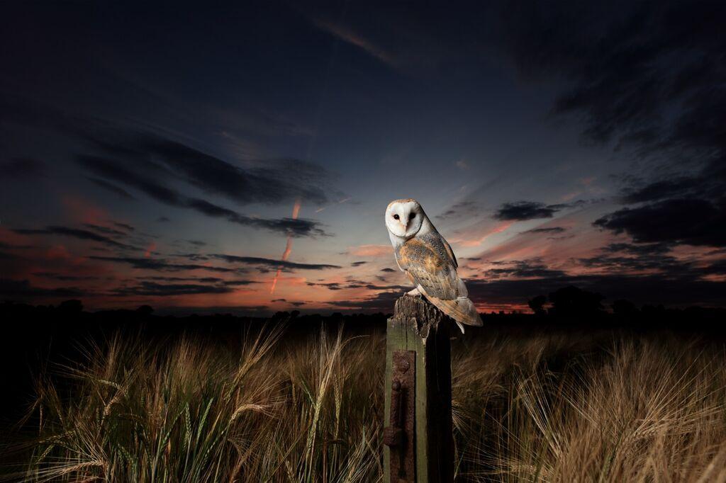 Barn-Owl 097