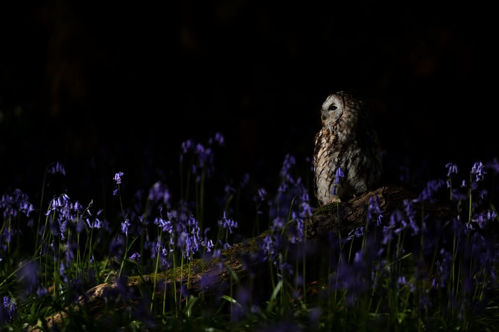 Tawny bluebell 004