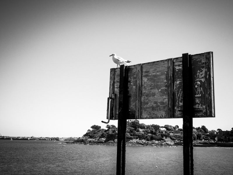 The seagull ...