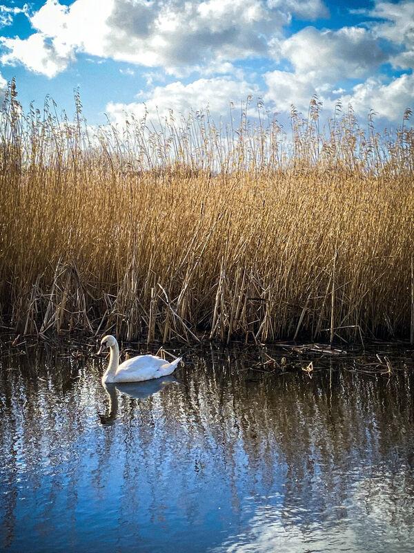 Swan on the moor