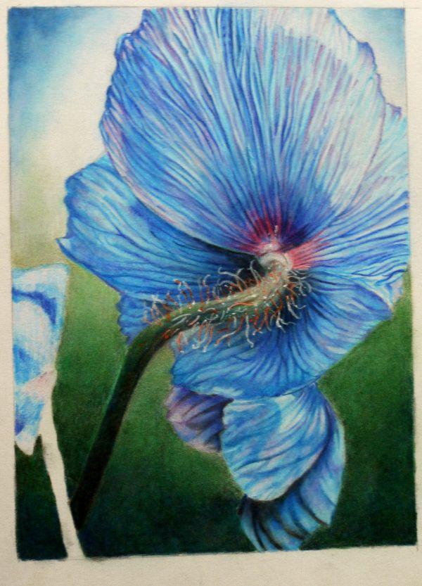 Himalayan Poppy, pencil drawing in progress