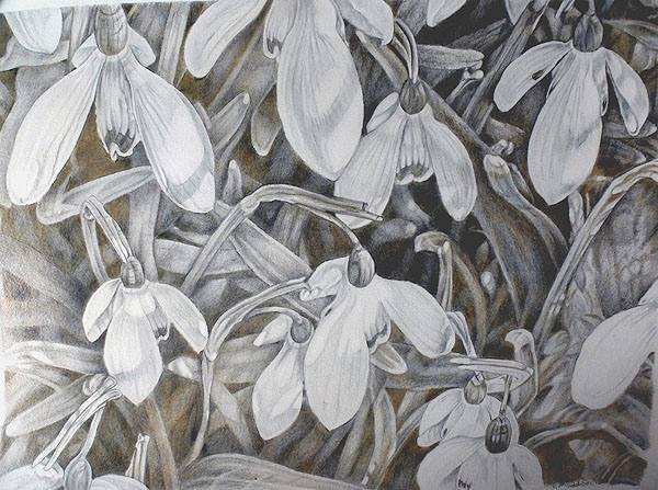 Snowdrops drawn with silverpoint and goldpoint on prepared A3 size paper