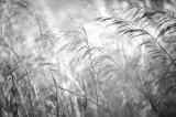 Grasses, Cap I Corp