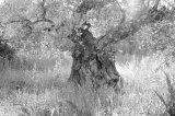 Olive tree, Calig