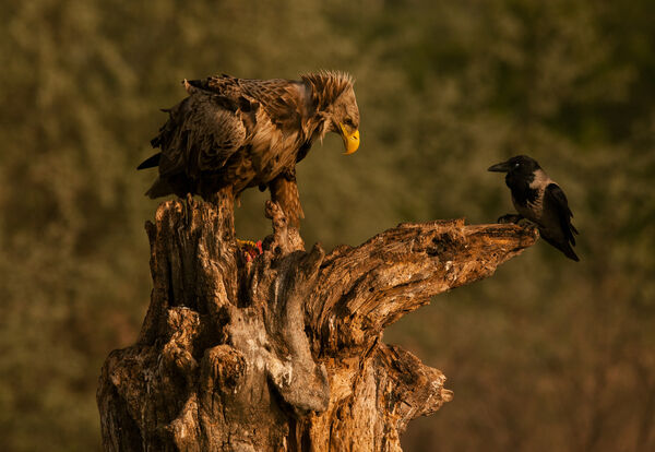 White-tailed Eagle and Hooded Crow