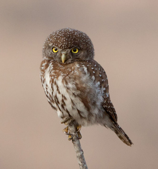 pearl-spotted owlet3