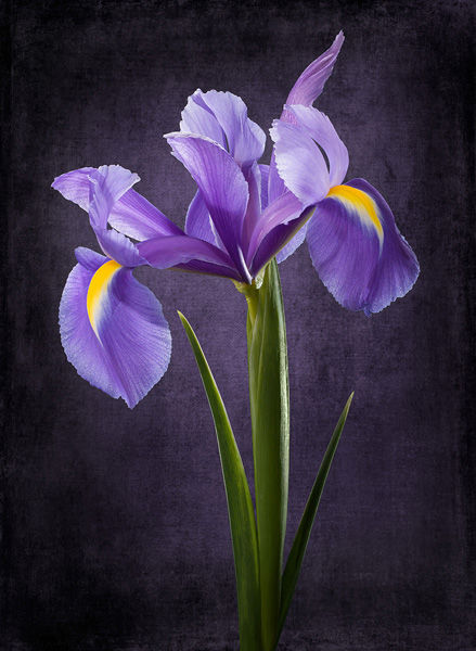 Blue yellow iris