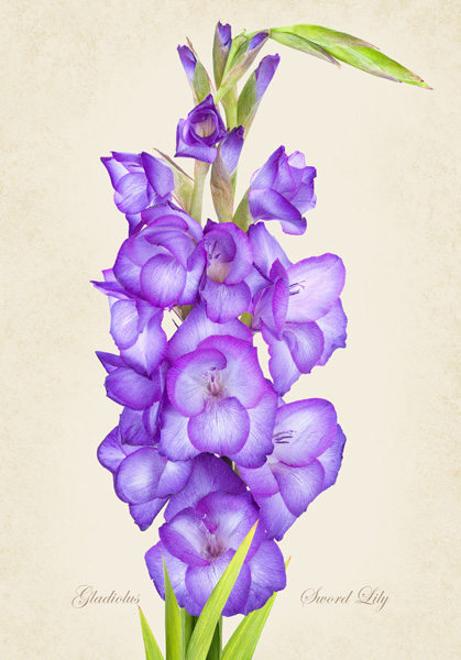 Gladiolus 'Sword Lily'
