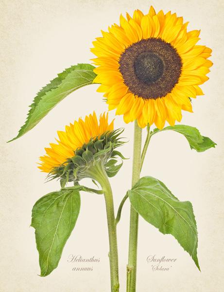 Helianthus 'Sunflower'