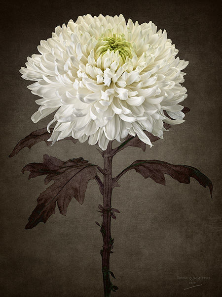 White Chysanthemum