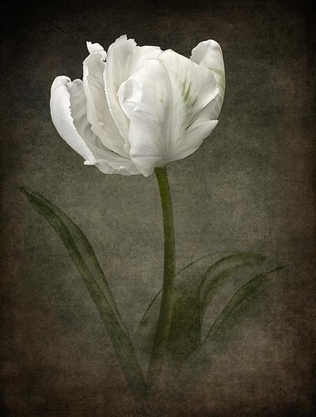 White Parrot Tulip