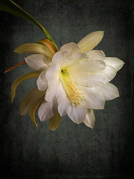 White Epiphyllum