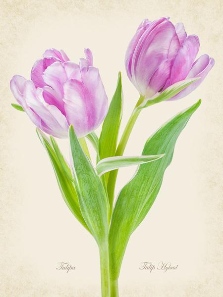 Pink Tulip Hybrid