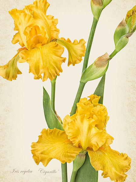 Iris regelia 'Cigarillo'