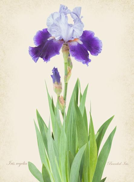 Iris Regelia
