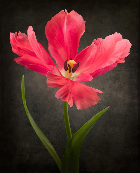 Red Open Tulip