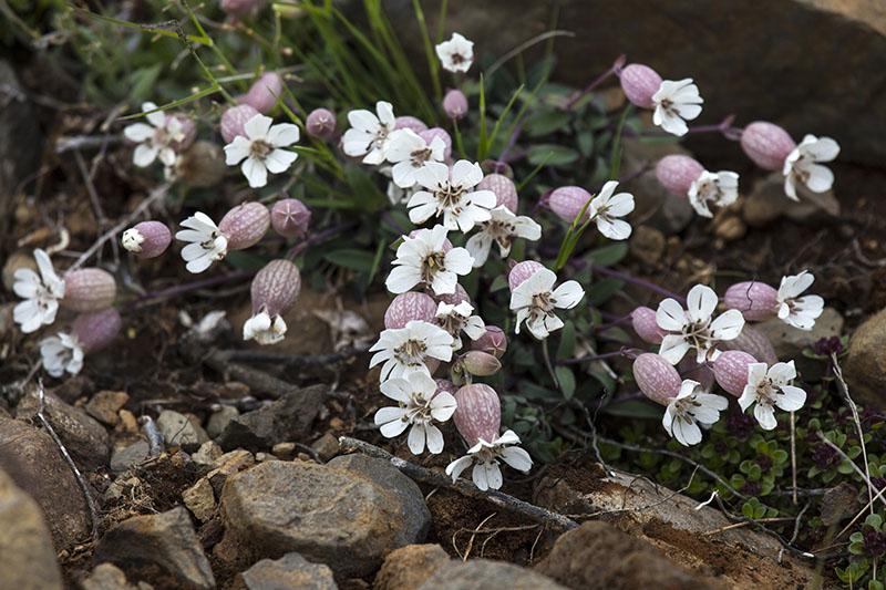 Alpine plants 3