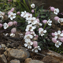 Alpine plants 3