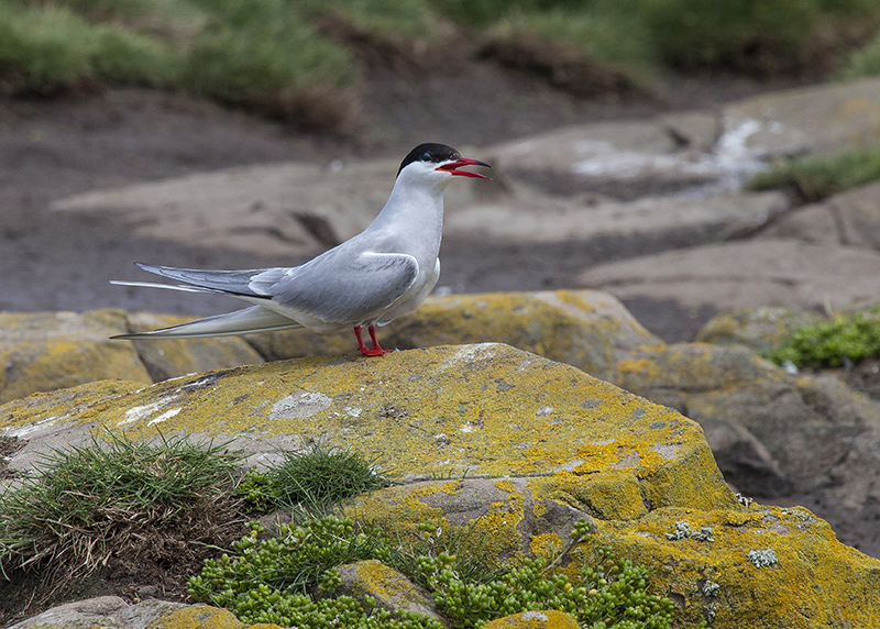 Arctic tern 4