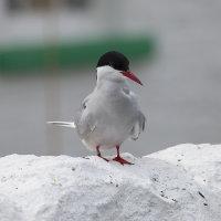 Arctic tern 6