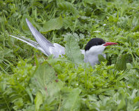 Arctic tern 7