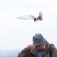 Arctic tern attack 1