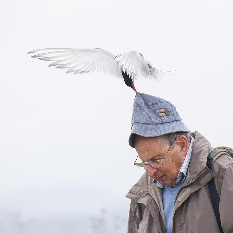 Arctic tern attack 2