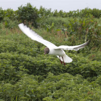 Black headed gull 2