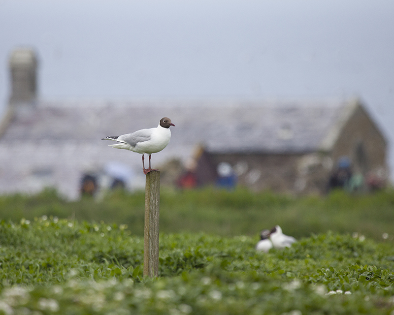Black headed gull 4