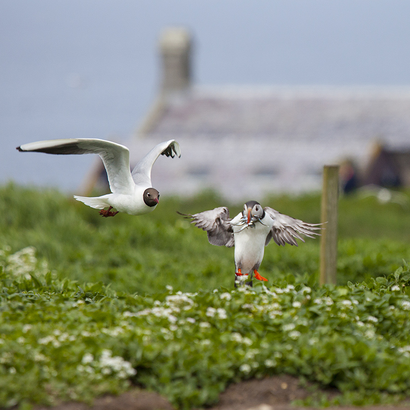Black headed gull and puffin