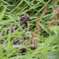 Black headed gull chicks