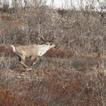 Caribou running