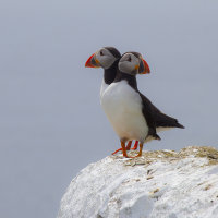 'Double-headed' puffin