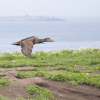 Eider duck on the wing