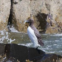 Guillemot eating fish