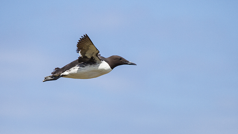 Guillemot flying