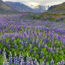 Lupins in front of glacier