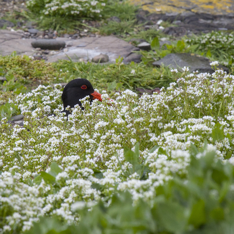 Oystercatcher in cover