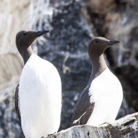 Pair of Guillemots