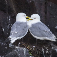 Pair of Kittiwakes