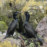 Pair of nesting shags