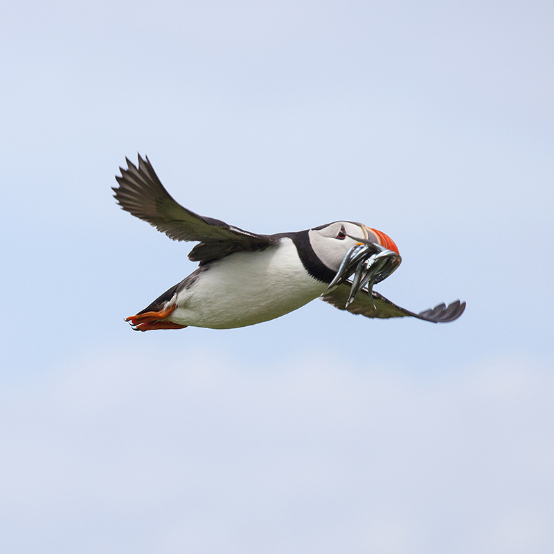 Puffin flying with eel 1