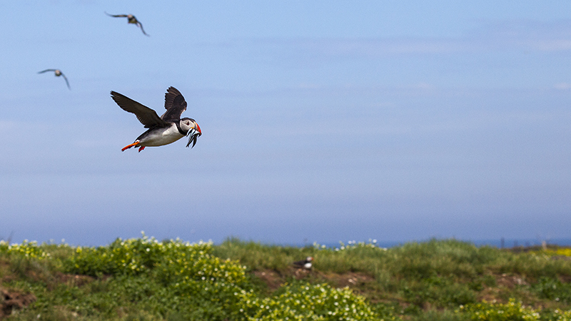 Puffin flying with sand eels 4