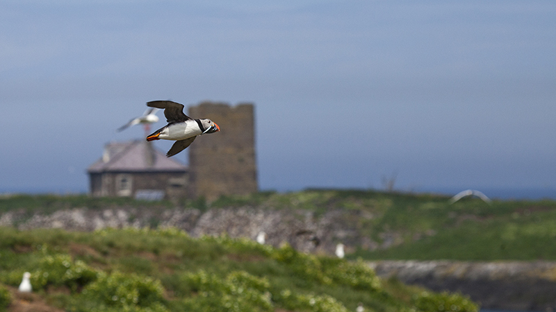 Puffin flying with sand eels 6