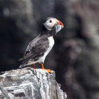 Puffin standing on rock with sand eels